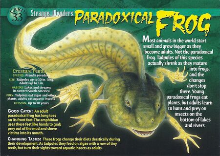 Paradoxical Frog front