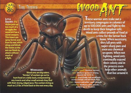 Wood Ant front