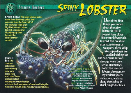 Spiny Lobster front