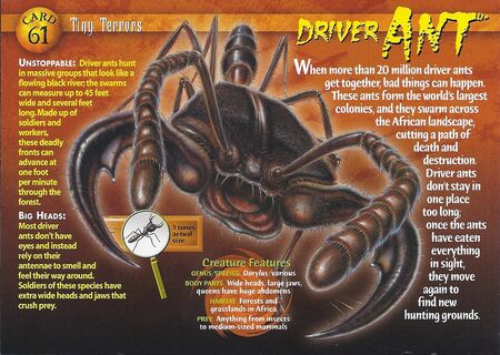 Driver Ant front