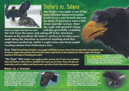Stellar's Sea Eagle back