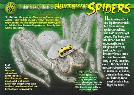 Huntsman Spider front