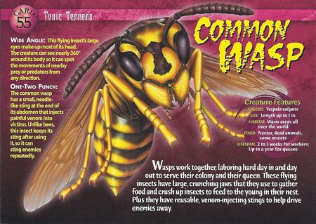 Common Wasp front