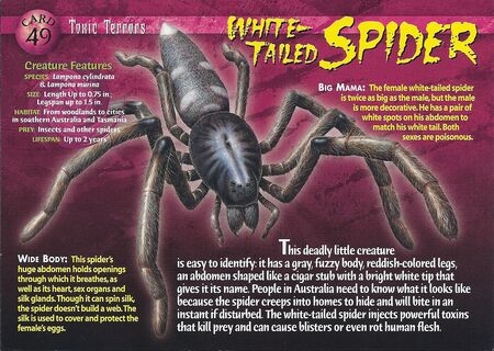 White-Tailed Spider front