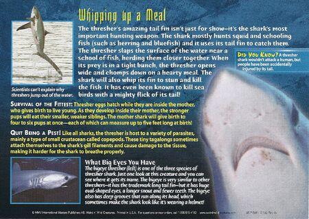 Thresher Shark back