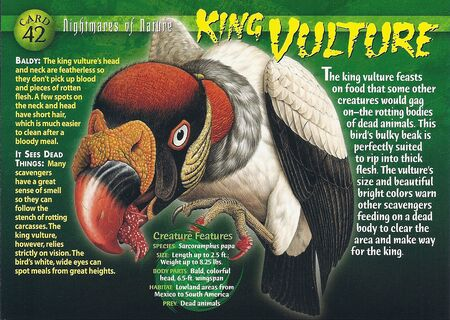 King Vulture front