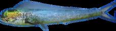 MahiMahi NB