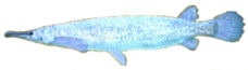 Platinum Alligator Gar AD
