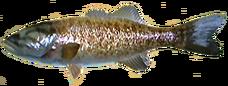 Smallmouth Bass AD