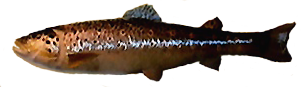 File:Brown Trout AD.png