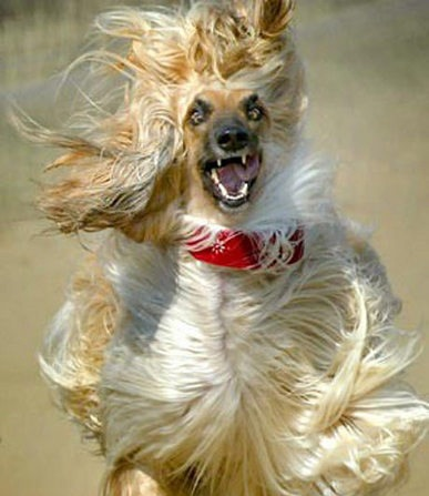 File:GrowlingAfghanDog.jpg