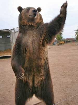 File:RockyGrizzly.jpg
