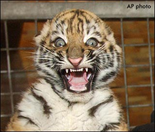 File:Funny-tiger-pictures-2.jpg
