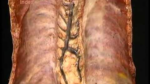 Vasos e nervos do tórax
