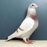 Pigeon44