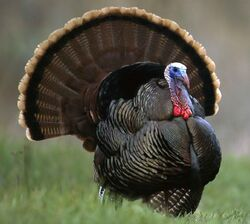 Realistic Turkey