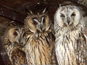 File:Owls.jpg