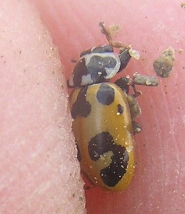 File:Parenthesis ladybird8.jpg