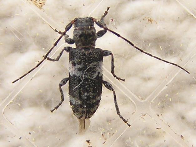 File:Pogonocherus mixtus.jpg