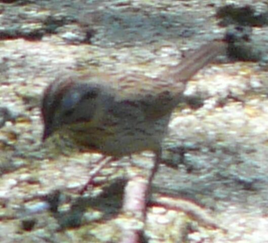 File:Lincoln's Sparrow.jpg