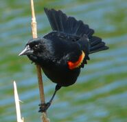 Red-winged Blackbird 3