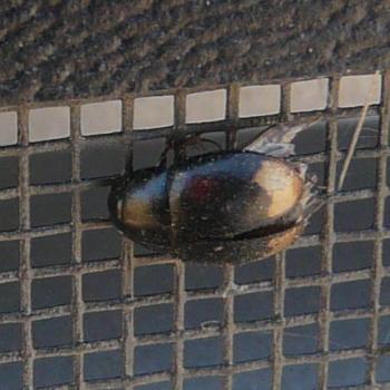File:Sphaeridium scarabaeoides.jpg