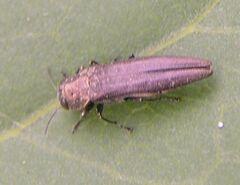 Jewel beetle1