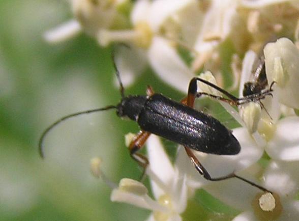 File:Gramoptera subargentata 5.jpg