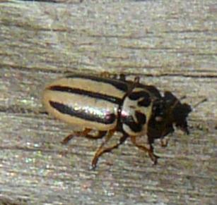 File:Episopalian ladybird.jpg