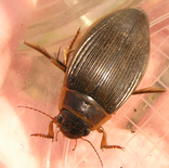 Predaceous diving beetle1