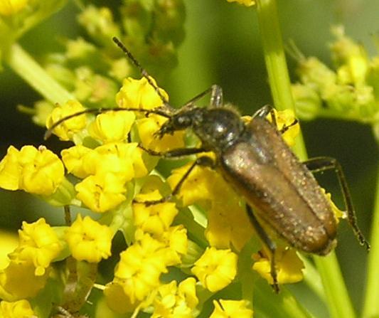 File:Gnathacmaeops pratensis.jpg