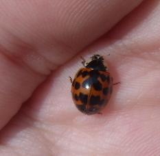 File:Harlequin ladybird 1.jpg