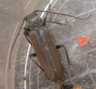 Largelonghorn beetle 1
