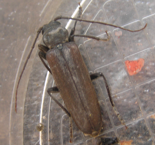 File:Largelonghorn beetle 1.png