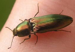 Resplendant Click beetle 1