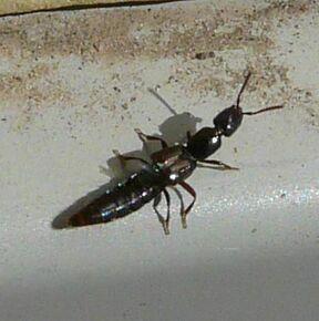 Rove beetle3