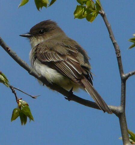 File:Western Wood Flycatcher.jpg