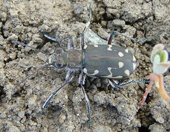 12-spotted Tiger beetle