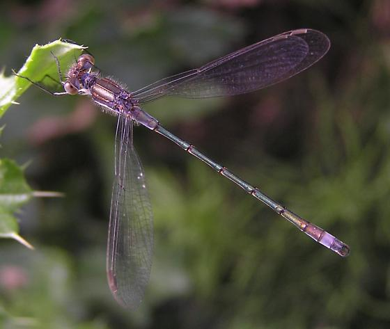 File:Spreadwing damselfly thumb pic.jpg