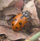 Sinuate ladybird2