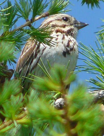 File:Song Sparrow.jpg
