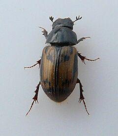 Aphodius distinctus