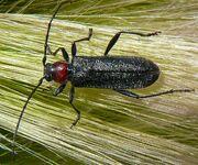 Longhorn beetle 5