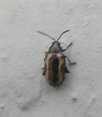 Striped flea beetle