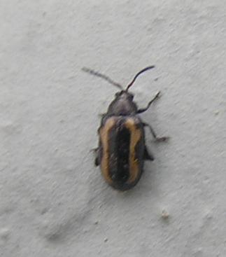 File:Striped flea beetle.jpg