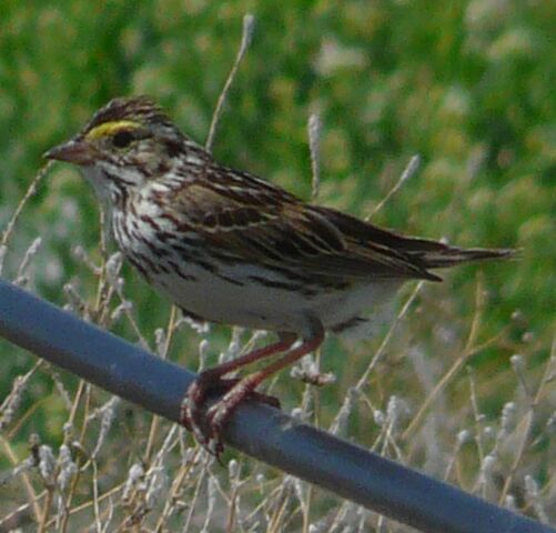 File:Savannah Sparrow.jpg