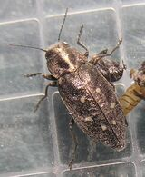 Hexagon jewel beetle