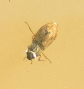 File:Helophorus sp.1.jpg