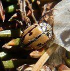 Mulsantina hudsonica1