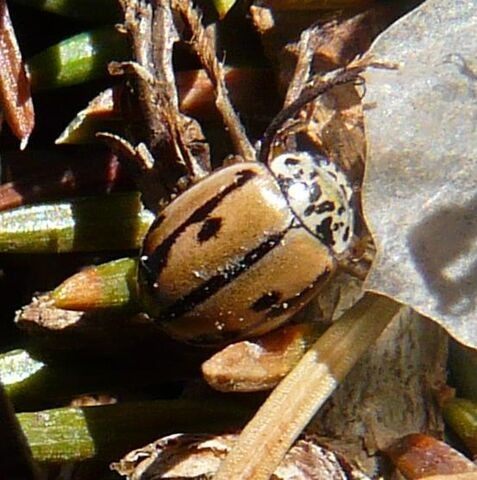 File:Mulsantina hudsonica1.jpg